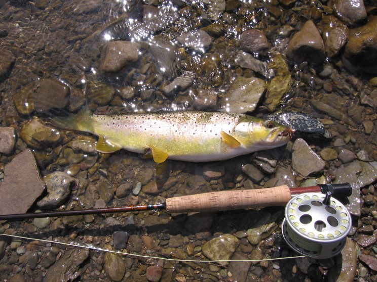 Stream_Brown_Trout